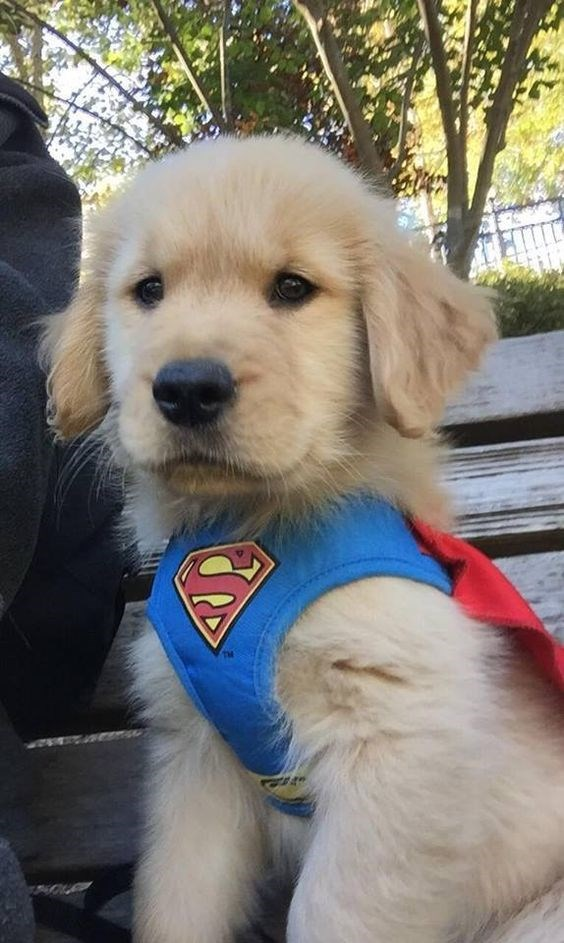 an adorable golden retriever puppy that has a super man costume on looking very cute - cover for ten reasons we love and can't get over golden retrievers