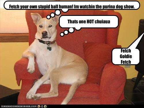 Fetch Goldie Fetch Thats one HOT chuiaua Fetch your own stupid ball human! Im watchin the purina dog show.