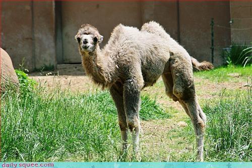 camel cute llama - 2988040448