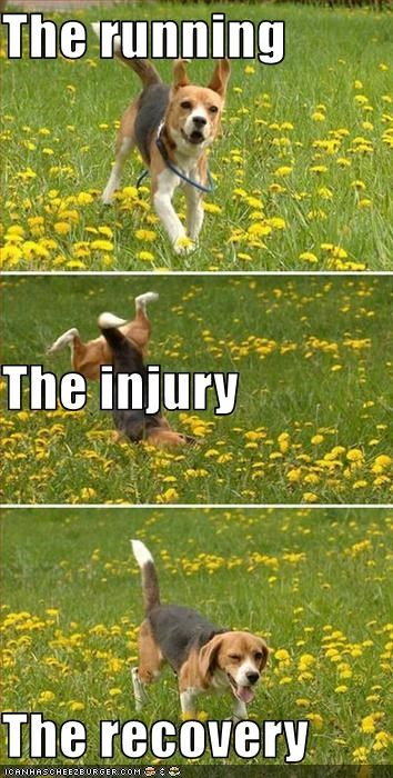 beagle injury recovery running - 2988854016