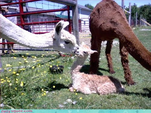 alpaca,baby,hairy