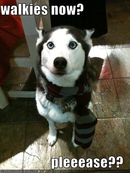 please,scarf,siberian husky,walk