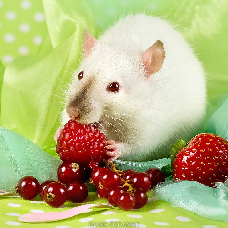 Cute photos of adorable rats by Diane Ozdamar