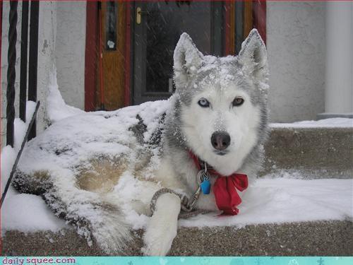 dogs husky snow - 3002971904