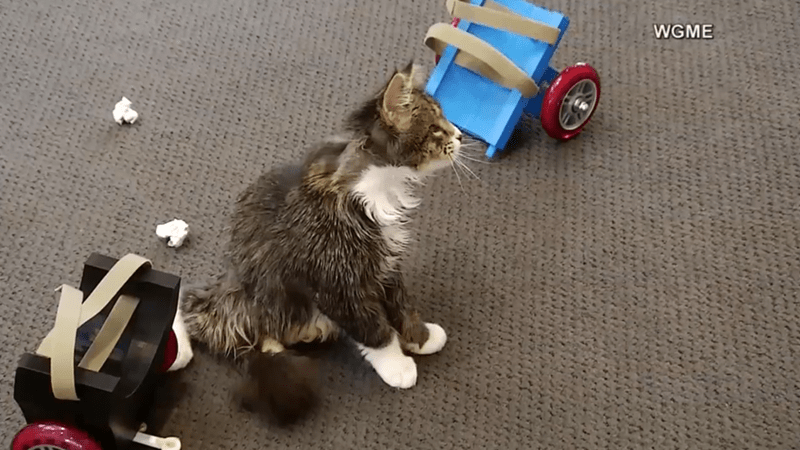 blind cat with a spinal injury gets 3D wheelchair created by students