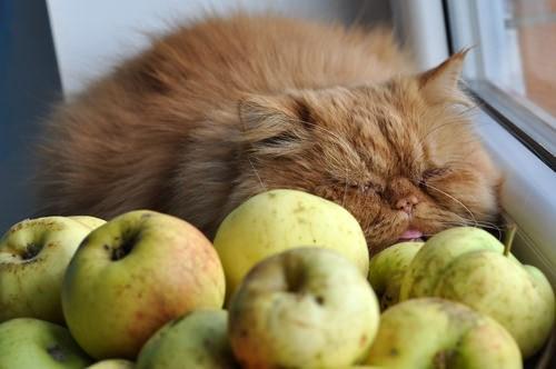 10 laziest cat breeds
