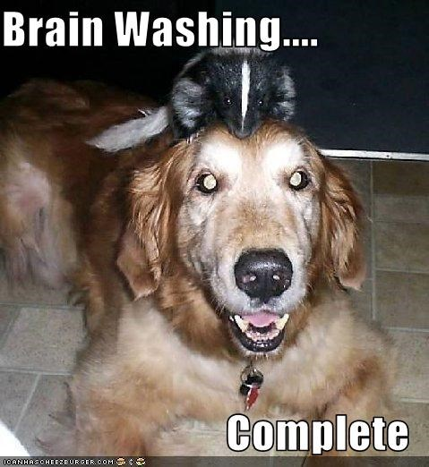 brain,brain washing,complete,golden retriever,operation,skunk,washing