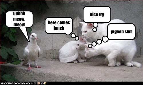 uuhhh meow, meow nice try pigeon shit here comes lunch