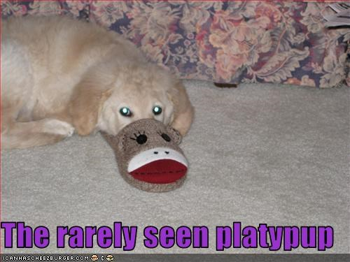 golden retriever,labrador,mixed breed,nose,platypus,rare,slippers