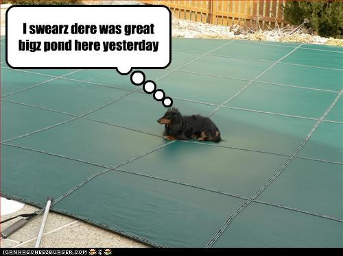confused dachshund pool - 3029985792