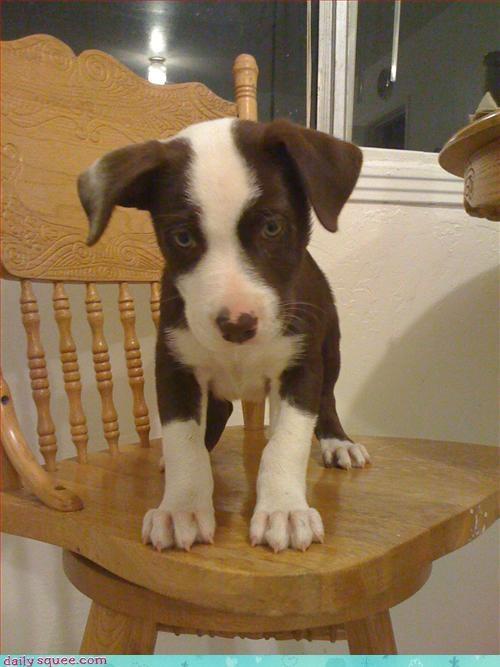 bossy dogs puppy - 3033273600