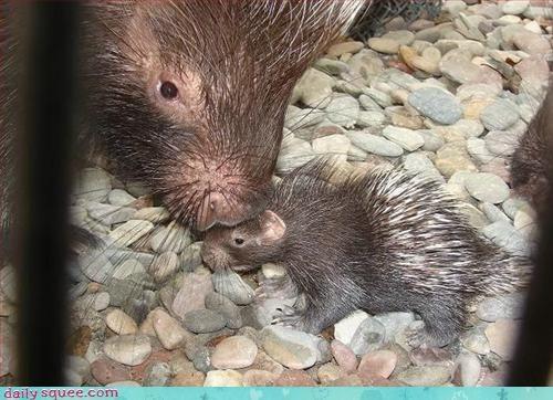 baby,mom,porcupine