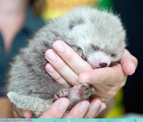 baby lint red panda - 3035851520
