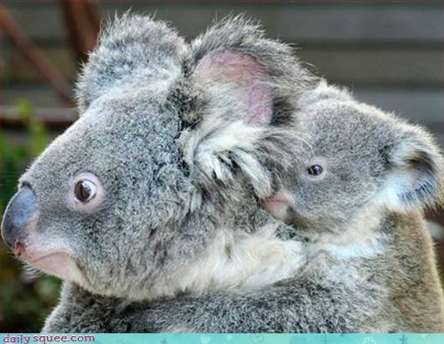 bamboo cute koala - 3035856384