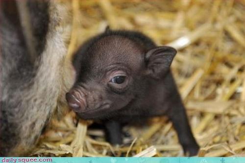 bacon pig piglet - 3037390336