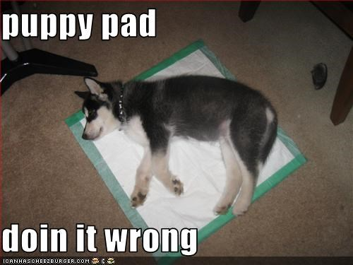 pee pads puppy siberian husky sleeping - 3043041792