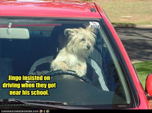 driving school show off west highland white terrier