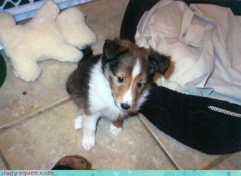 collie lassie puppy - 3045961984