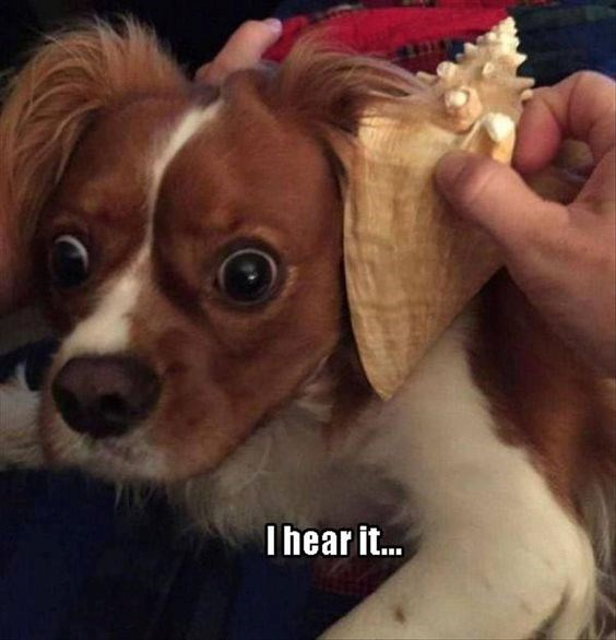 a dog listening to a sea shell and he can hear the waves and looks very very confused - cover for a list of funny memes and photos of confused dogs