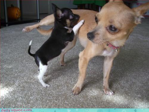 chihuahua dogs so tiny - 3057262592