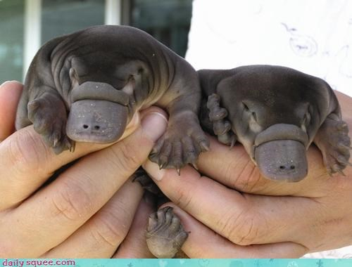 cute platypus scary - 3059192832