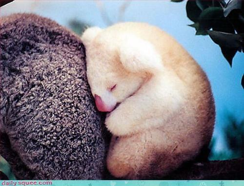 family hugs koala - 3059957248