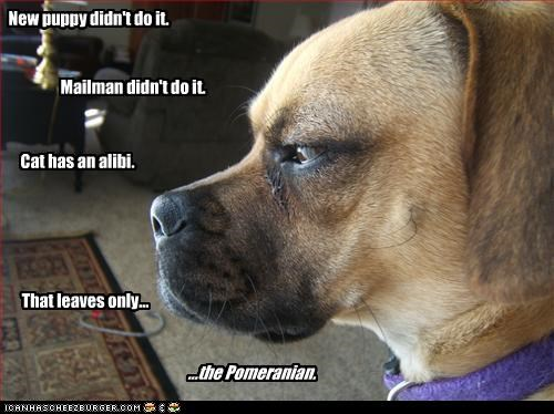 alibi boxer lolcats mailman mixed breed pomeranian puppy suspicious - 3063144192