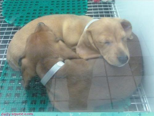 dachshund puppy weiner - 3063264768