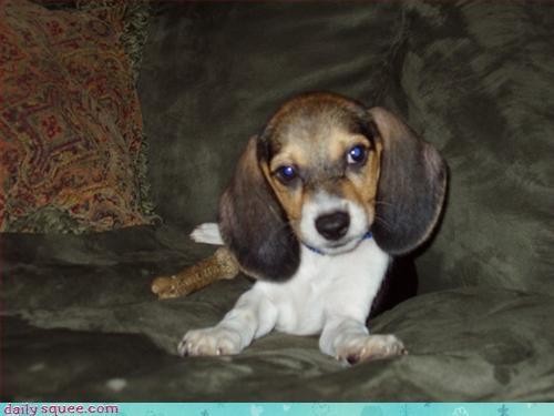 beagle dogs puppy
