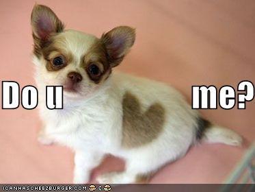 chihuahua cute love puppy - 306741504
