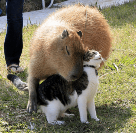 a funny photo of a capybaras and a cat hugging - cover for a list of capybaras that get along with everything