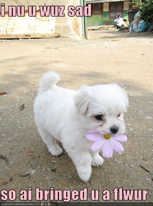 cheer flowers help puppy Sad west highland white terrier