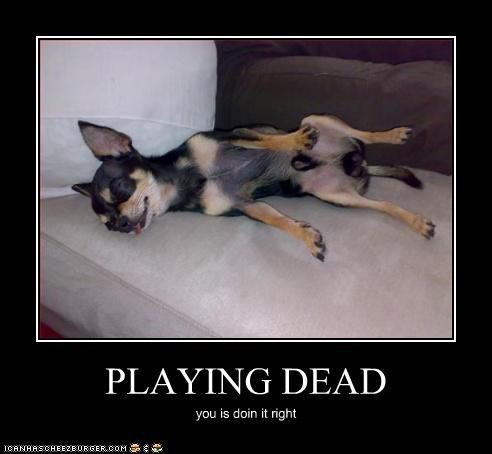 chihuahua doin it rite play dead - 3075871232