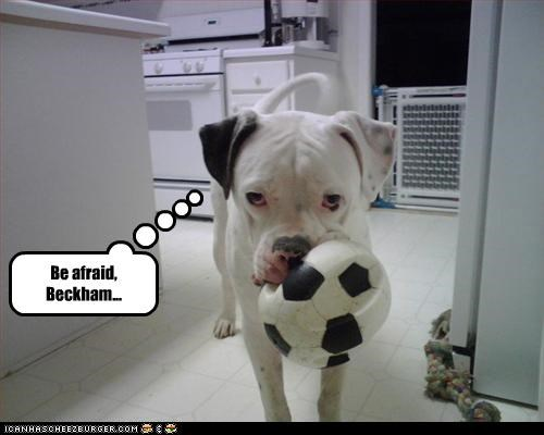 afraid ball pitbull soccer