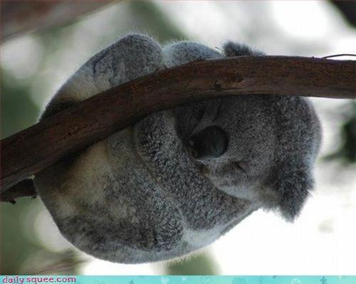 koala,nap,noms