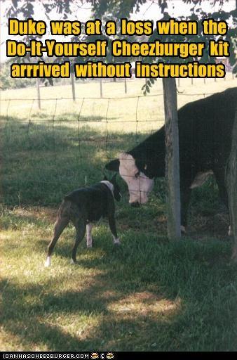 cheezburger cow whatbreed - 3085346560