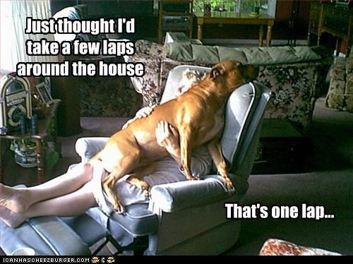 lap pit bull sitting - 3087587840