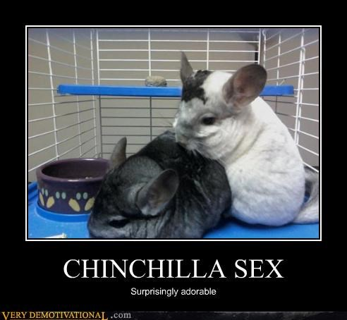 adorable sexy times chinchilla - 3088836096