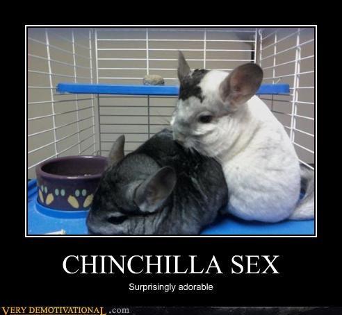 adorable sexy times chinchilla - 3088836096