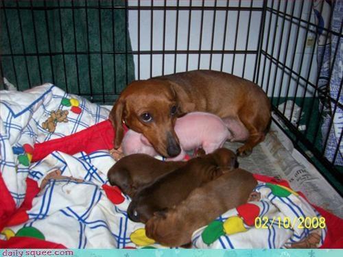 hotdog,pig,puppy