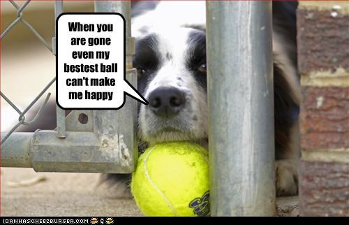 australian shepherd dogs fence Sad - 3093719296