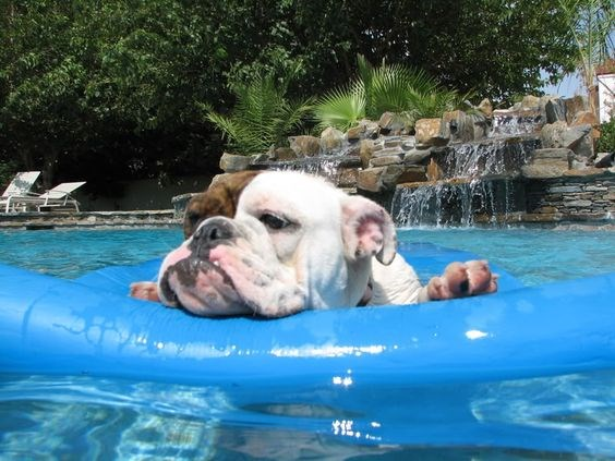 a photo of a bulldog laying and relaxing on a float in the pool -cover for funny dogs in the pool