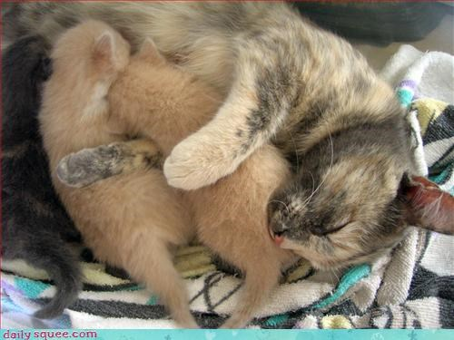 cat,kitten,nursing