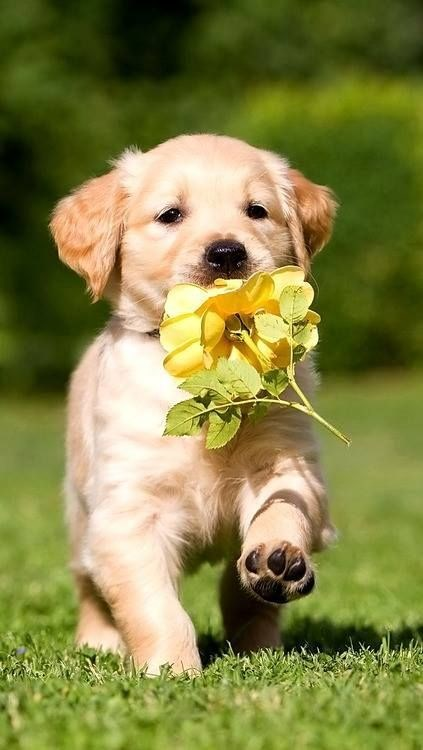 a cute puppy runing through grass to bring his owner some flowers- cover for adorable dogs doing the same thing
