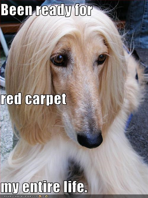 Afghan Hound celeb famous red carpet - 3098379776