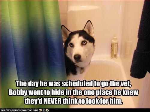hide,shower,siberian husky,vet