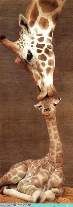 baby,giraffes,mom