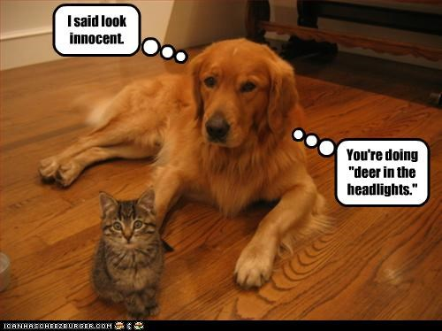eyes,golden retriever,innocent,kitten,lolcats,look