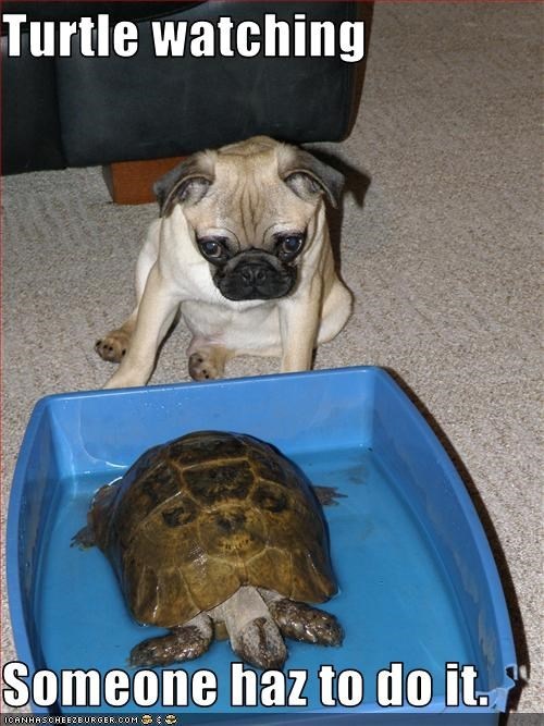 lolturtles,pug,watching