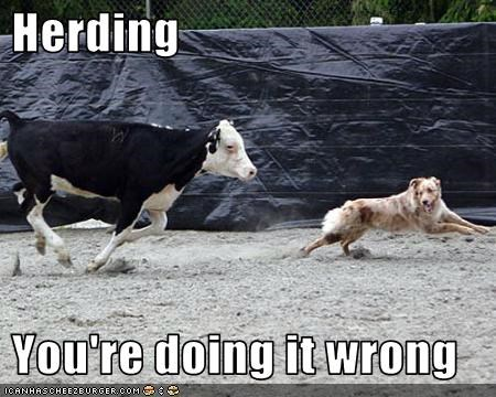 australian cattle dog,blue heeler,chased,cow,doin it wrong,herding